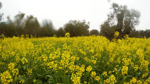 blooming yellow rape field in an ancient olive garden under the winter rain in Footage