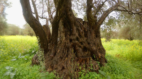 trunk of 400-year-old olive tree close-up under heavy rain in the field of Footage