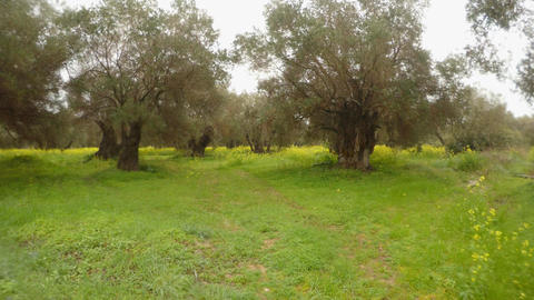 olive trees in the rain, green grass in the winter Footage
