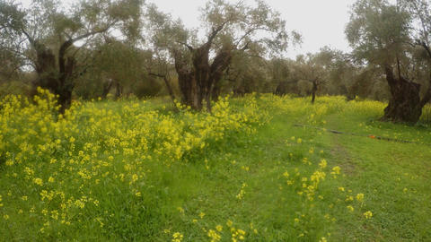ancient olive trees under a rainstorm, a panorama to the right, green grass in Footage