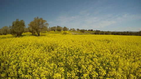 a field of yellow rape flowers and rare olive trees, a bright sunny day in the Footage