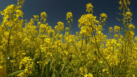 yellow rape flowers and blue sky, the wind shakes grass and bees collect pollen, Footage