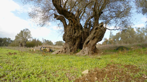 a large old lonely olive tree cropped at low altitude, in winter Footage
