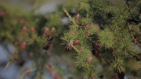 Fir cones and needles Footage
