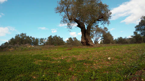 lonely olive tree against the blue sky in January Footage