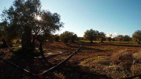 Ancient olive garden in winter under the evening sun, plowed land, pipes for Live Action