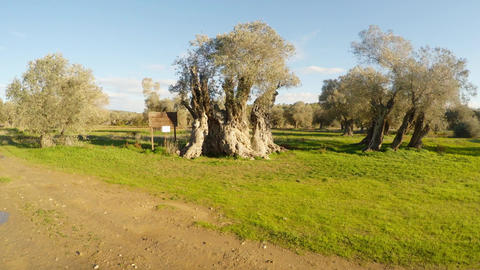 queen of olive trees, centuries-old tree, planted by King Richard Lionheart, Footage