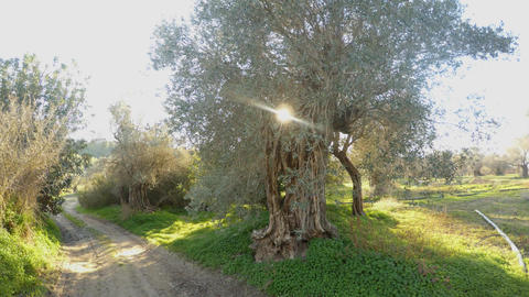 the sun shines through the branches of the olives, the dirt road disappeared in Footage