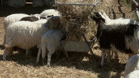 sheeps eating hay at farm Footage