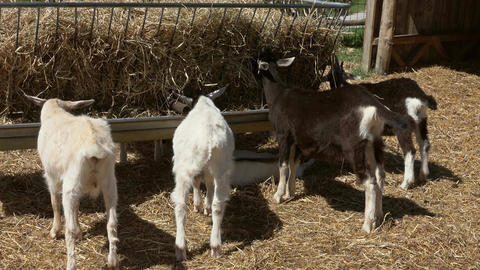 goats eating hay at farm Footage
