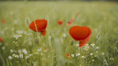 Poppy field. Blooming Poppies Footage