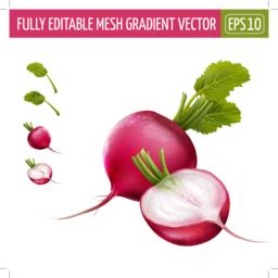 Radish on white background. Vector illustration Vector