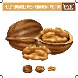 Walnut on white background. Vector illustration Vector