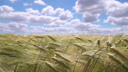 Wheat On The Sky Background
