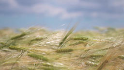 Wheat On The Sky Background 2
