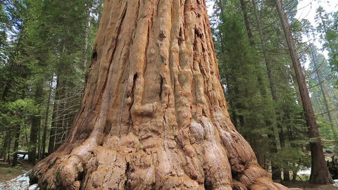 Giant Sequoia Tree in Sequoia National Park Live Action
