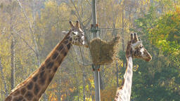 Two giraffes eating Live Action
