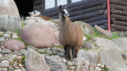 The llama (lama glama) Live Action