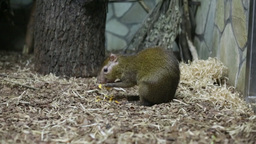 Central American Agouti Or Dasyprocta Punctata stock footage