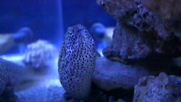 Dragon moray or Leopard moray eel Footage