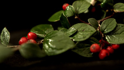 Red berry branch isolated against a black background HD stock footage Footage