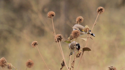 Goldfinch birds standing on branch Footage