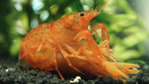 Mexican Dwarf Crayfish Mating In Nano Aquarium stock footage