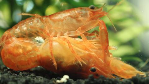 Mexican dwarf crayfish mating in nano aquarium Footage