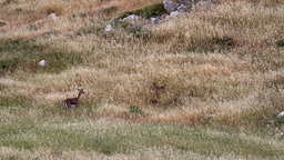 Israeli Mountain gazelle female and fawn in the field Footage