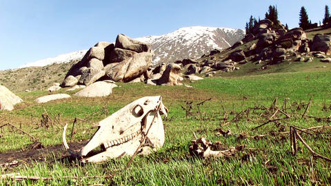 Cattle Skull In Mountain Valley stock footage