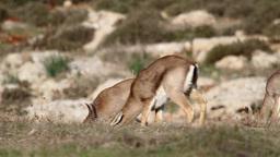 Israeli Mountain gazelle feeding from grass Footage