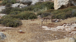 Israeli Mountain gazelle female and fawn in the nature Footage