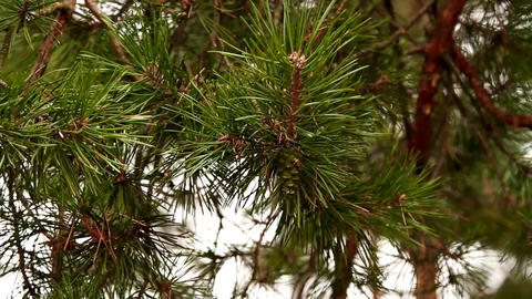 Beautiful pine trees in the forest close-up Footage