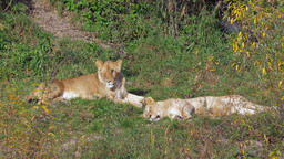 Female lions lying in the grass Archivo