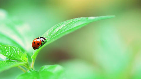 Red Ladybug Insect On Green Leaf Macro Footage