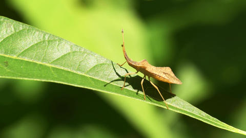 Shield Bug Insect Walking On Leaf Live Action