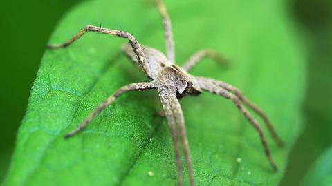 Nursery Web Spider Sitting On Green Leaf In Garden Footage