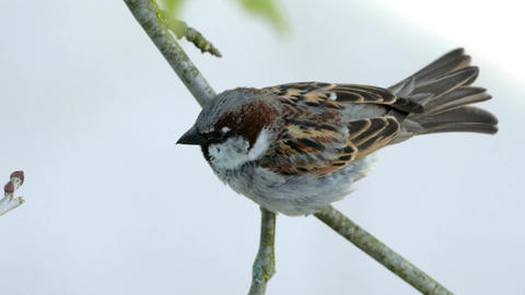 House Sparrow Sitting On A Branch Of Platane Tree And Chirping In Morning S Live Action