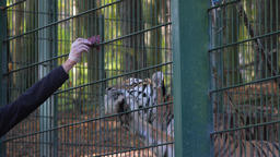 A zoo worker feeds the Siberian tiger (Panthera tigris altaica) Live Action