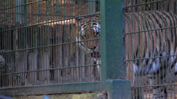 A zoo worker feeds the Siberian tiger (Panthera tigris... Stock Video Footage