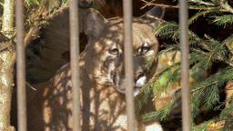 The cougar, puma (Puma concolor) in a cage Footage