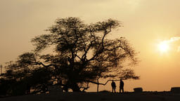 Tree of life; Bahrain. Timelapse. Camera movement ビデオ