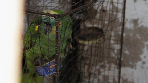 Home Parrot In a Bird Cage Stock Video Footage