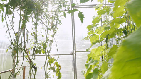 Tomatoes and cucumbers are grown in a greenhouse Footage