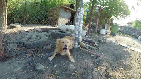 Tied dog barking in yard at farm Footage
