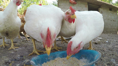 Funny chickens eating grains in a yard at the country side Footage