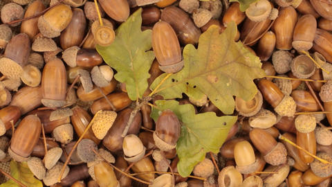 Rotation of acorns and stem with leaves Footage
