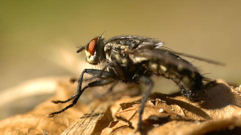 Fly (Musca Domestica) Movements Macro In Slow Motion Live Action