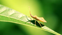 Shield Bug Insect Walking On Leaf In Slow Motion Footage