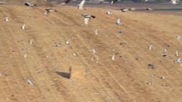 Feral pigeon flock flying Footage